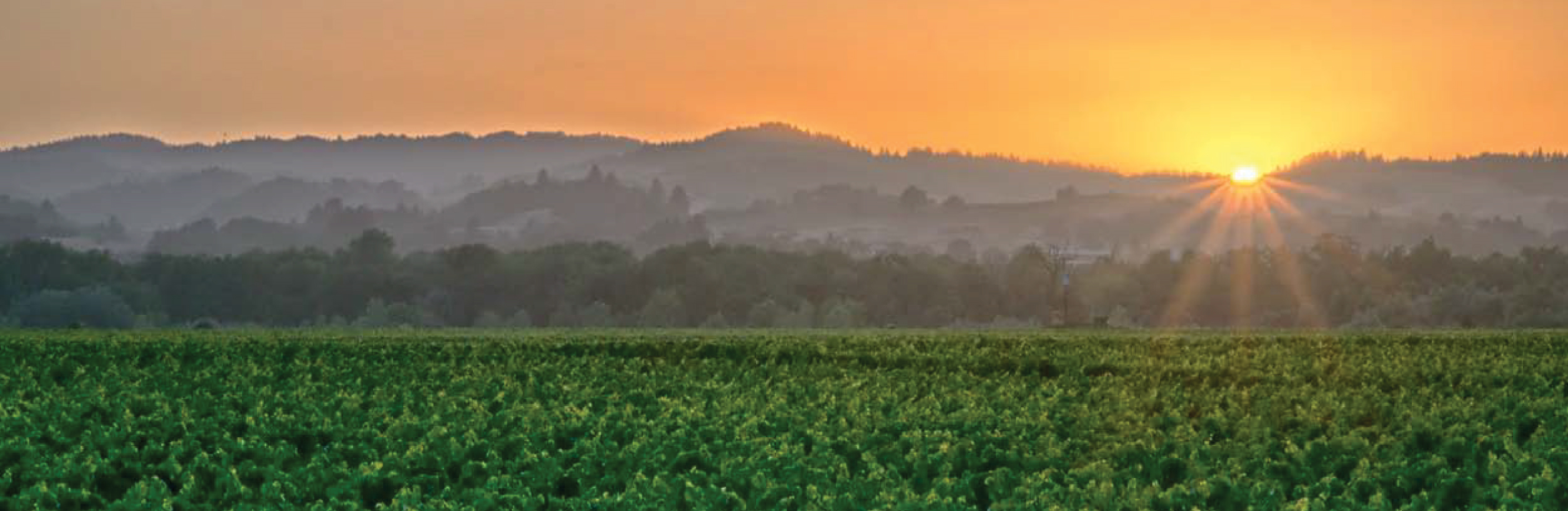 Sunrise over vineyard